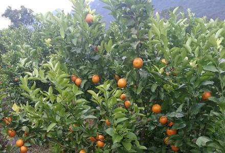 沃柑,砂糖橘果园低价转让