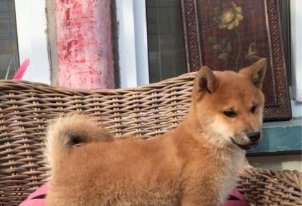 出售纯种柴犬 纯种柴犬价格 亿丰犬舍直销 亿丰犬舍