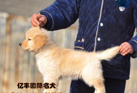 赛级金毛幼犬多少钱 亿丰犬舍直销金毛