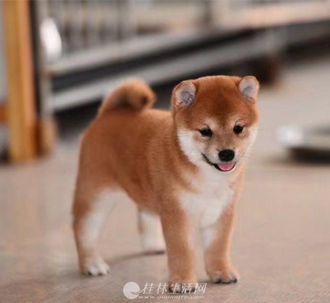 赛级柴犬幼犬多少钱 纯种柴犬价格