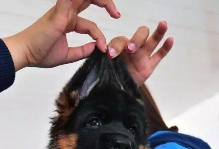 北京哪里有锤系德牧幼犬 北京德牧价格