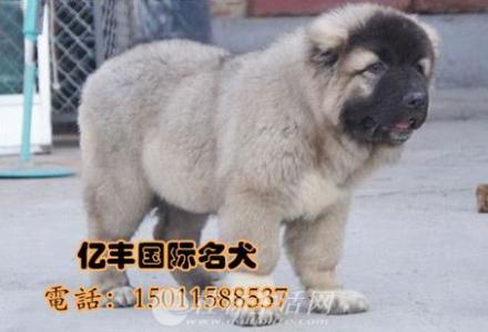 双血统高加索幼犬多少钱 纯种高加索价格