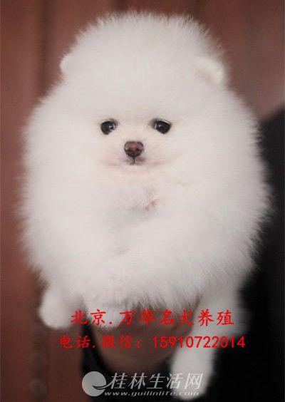 博美犬价格 博美犬多少钱 博美犬图片 纯种博美犬