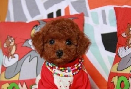 出售纯种茶杯犬泰迪熊幼犬不掉毛没体味多只挑选