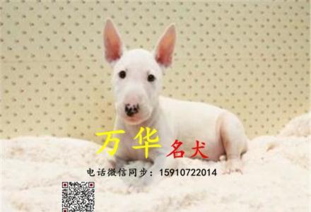 哪有纯种牛头梗卖 北京牛头梗幼犬价格