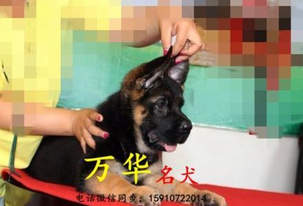 纯种德牧出售 北京德牧犬价位 德牧照片
