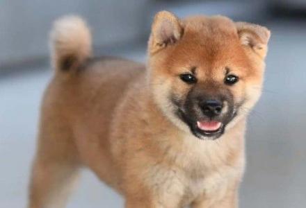 北京哪里有柴犬 赛级柴犬价格 亿丰犬舍