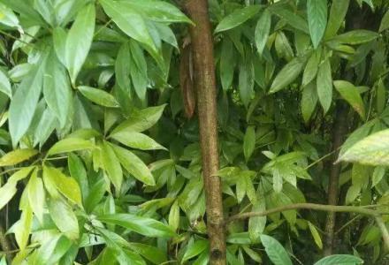 大量供应金丝楠木苗、红豆杉、桂花、竹柏、银杏等各种苗木