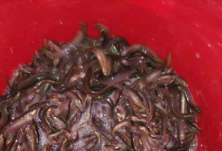 急售台湾泥鳅寸苗30万尾