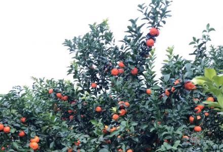 五年丰产期砂糖桔沃柑果园转让