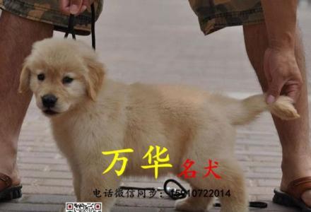 纯种大头金毛 枫叶系金毛幼犬 包纯度健康 签协议