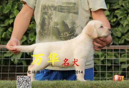 纯种拉布拉多 黑色黄色咖啡色拉布拉多幼犬 完美售后