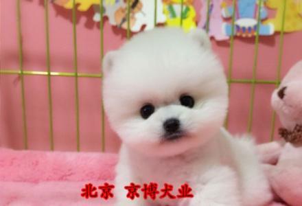 北京专业繁殖基地 出售纯种哈多利球体博美 博美俊介