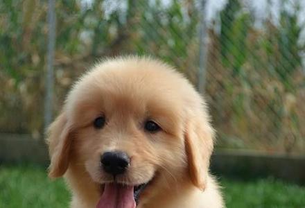 纯种金毛 精品大头金毛宝宝,赛级金毛犬 八折起售