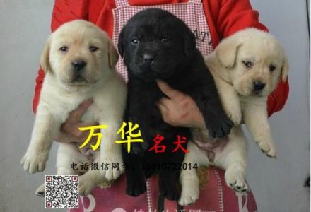 纯种拉布拉多犬 奶白色拉布拉多 专业繁殖 品质保障