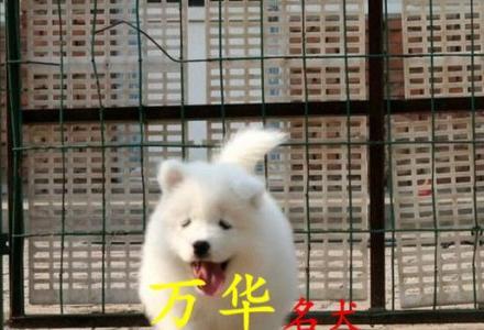萨摩耶犬怎么养萨摩耶好养吗 北京萨摩耶价格
