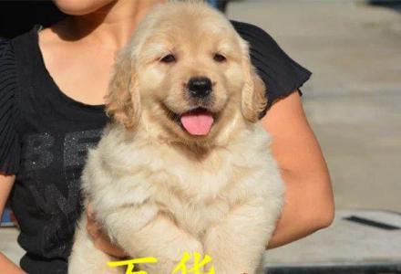 纯种美系大头金毛幼犬万华低价出售枫叶系金毛幼犬