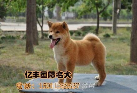 纯种柴犬 纯种柴犬价格 亿丰犬舍