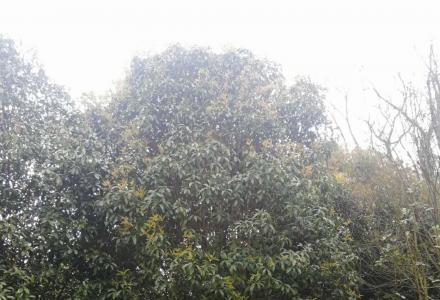 急售银杏树,桂花树,