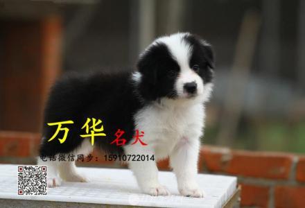 边境牧羊犬健康出售 北京边境牧羊犬多少钱一只