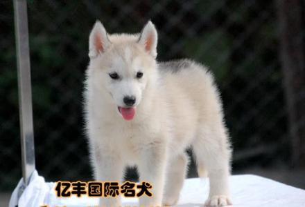 赛级哈士奇幼犬多少钱 纯种哈士奇哪里有 亿丰犬舍
