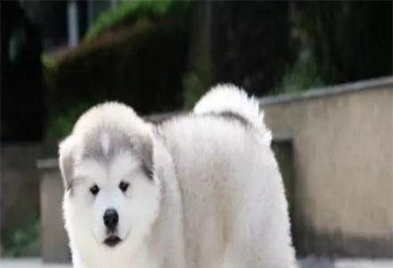 出售纯种阿拉斯加 纯种阿拉斯加幼犬多少钱