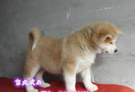 日系秋田幼犬出售 赛级秋田多少钱一只