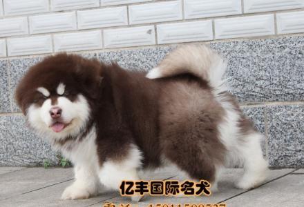 出售纯种阿拉斯加 赛级阿拉斯加幼犬多少钱 亿丰犬舍直销