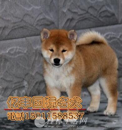 出售纯种柴犬 纯种柴犬价格 亿丰犬业