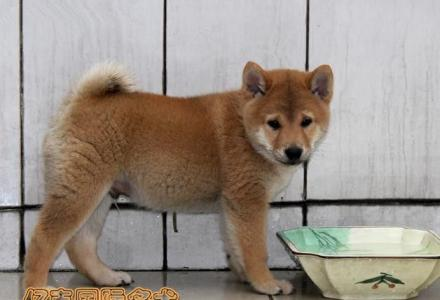 出售纯种柴犬 纯种柴犬价格 可送货