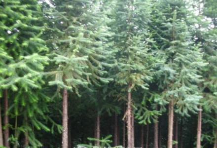 种植9年多杉木树承包