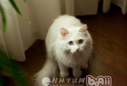 白色波斯猫.皇家进口 不骚不要钱