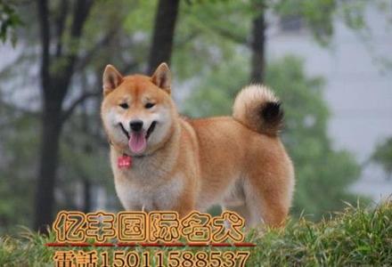 赛级柴犬幼犬多少钱 纯种柴犬价格 亿丰犬舍直销