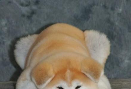 赛级秋田犬 纯种秋田幼犬出售 全国包运