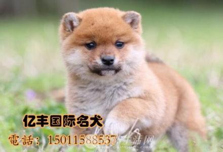 出售纯种柴犬 赛级柴犬多少钱 亿丰犬舍