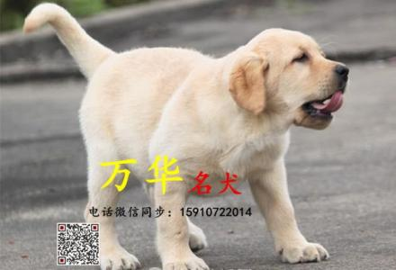 纯种拉布拉多犬价格 拉布拉多多少钱一只犬舍直销