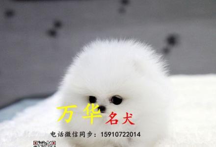 出售纯种博美幼犬  博美价格  博美图片  博美掉毛吗