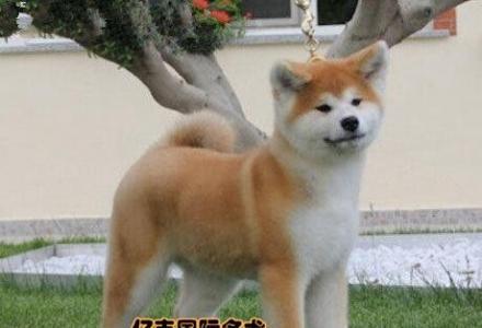 出售纯种秋田 纯种秋田幼犬多少钱 亿丰犬舍