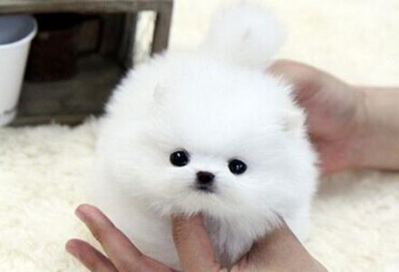 北京哪里出售纯种博美幼犬  博美价格   博美掉毛吗