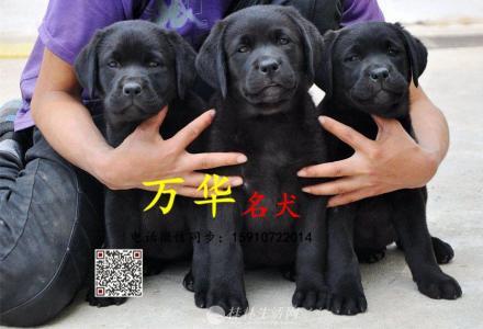 纯种拉布拉多幼犬 拉布拉多幼犬价格 拉布拉多图片