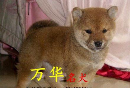 出售纯种柴犬幼犬  柴犬价格  柴犬图片