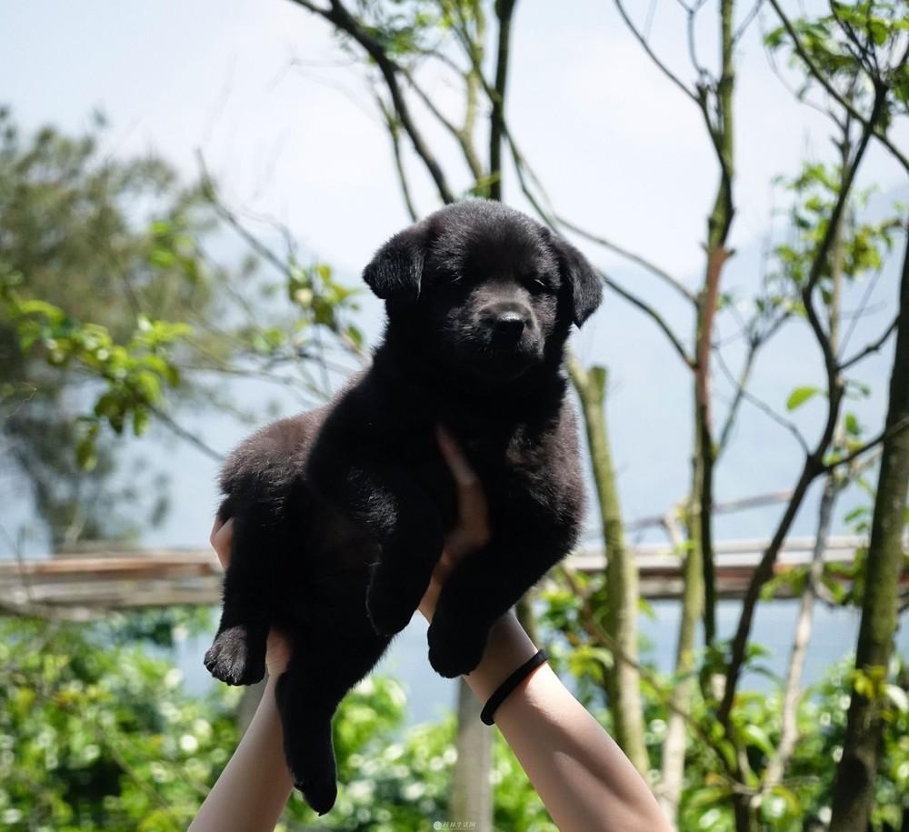 温柔懂事可爱小狗狗出售