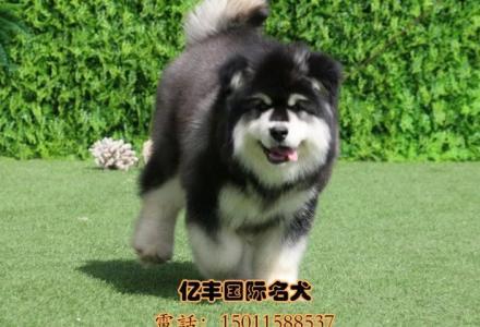 出售纯种阿拉斯加 纯种阿拉斯加幼犬多少钱 可送货