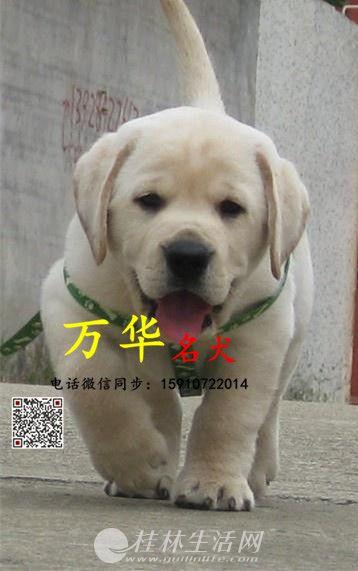 北京哪卖纯种拉布拉多犬 黑色拉布拉多 奶白色拉布拉多 签协议