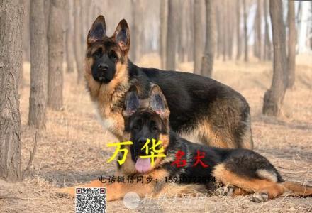 北京德牧幼犬 锤系纯种德牧 打完疫苗健康保障