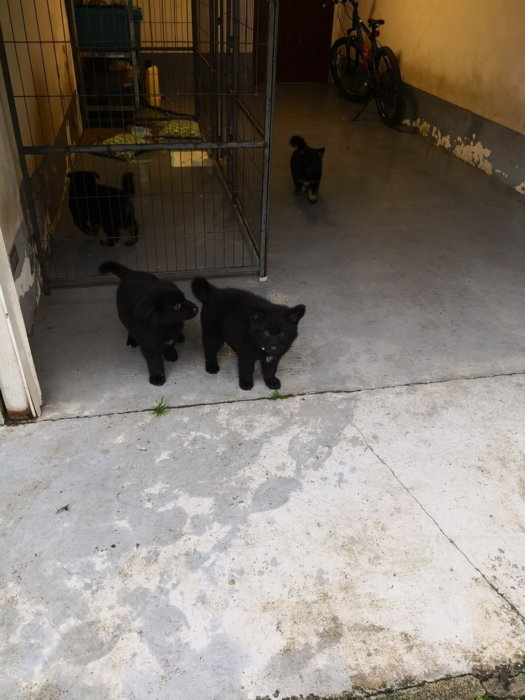 东德黑色牧羊犬,两公一母