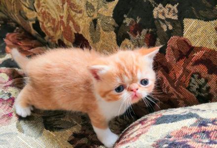 加菲猫出售自家繁殖加菲猫