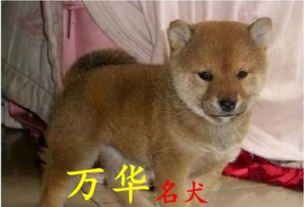 北京柴犬价位多少 北京什么地方有卖柴犬 北京柴犬犬舍