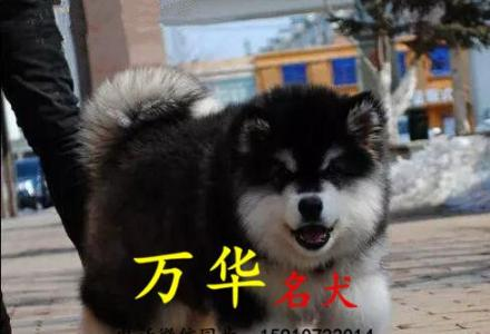 北京阿拉斯加多少钱 北京熊版阿拉斯加价格 阿拉斯加