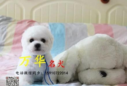 北京比熊多少钱 北京卷毛比熊犬 比熊图片 比熊价格